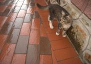 Котик на подвір'ї, яке викладене бруківкою БрукКерам